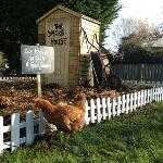 The veg patch with help from Elvis, one of our chickens