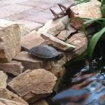 resident turtle