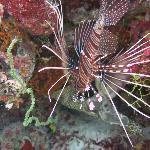 lion fish at house reef