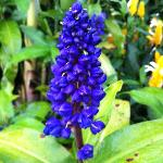 Blue Ginger Flower at Gallery Grounds
