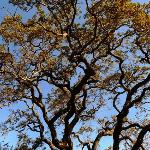 Beautiful oaks for which the property is named