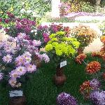 The exhibition of chrysanthemums