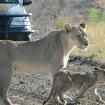 Lioness and cub crossing