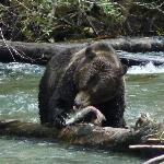 Grizzly feasting on a salmon