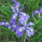 Spring native iris.