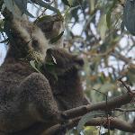 Koala and Baby along Koala Walk
