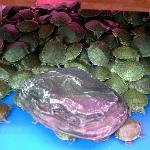 Baby turtles for sell in the Gold Fish Market