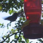 Hummingbird feeding in backyard gardens