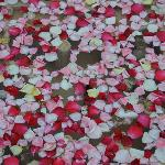 scattered rose petals