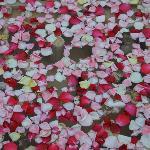 scattered rose petals