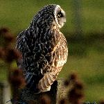 Short eared owl is a resident of Buxa Farm