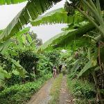 Biking tru banana plantation