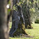 olivi, particolare