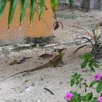 Tipical iguana