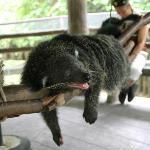 Binturong at Khao Kheo Open Zoo