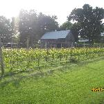 Vineyard and old barn