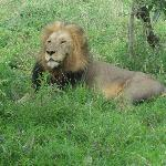 Lion on a game drive.