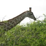 Giraffe on a game drive