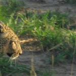 Leopard on a game drive