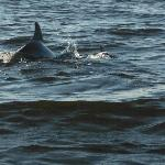Dolphins- 50 Yards Offshore