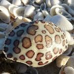 Shells at Lighthouse Beach