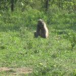 Baboon on game drive