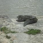 alligator on the other side of restaurant