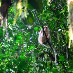 Leaf monkey (White morph)
