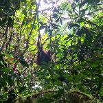 Linda the orangutan, we were so lucky to se the and 2 others