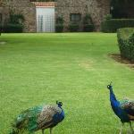 Peacocks on grounds