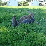 A few of our many free roaming bunnies