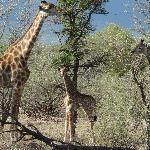 Wildlife mit Giraffen