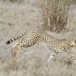 Beautiful cheetah on Safari