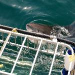 Great white shark next to the cage.