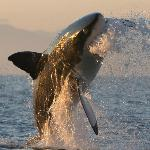 Great white shark breaching.