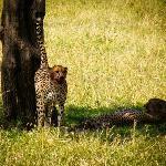 cheetah scenting territory