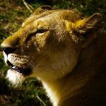 handsome lion