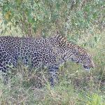 same leopard