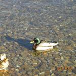 The Clear Water of the Big Bear Lake with Ducks Swimming