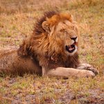 One of two lion brothers who patrolled our camp