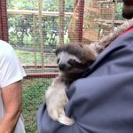 sweet sloth being held by an employee
