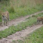 Leopard met puppy aan de wandel