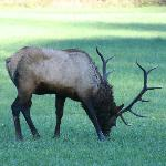 Elk in nearby field