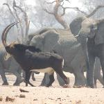sable amongst elephants at a water hole