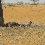 cheetah on young kudu kill