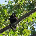 Howler Monkeys outside the hotel