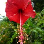 Hibiscus (called Bunga Raya) - National Flower of Malaysia