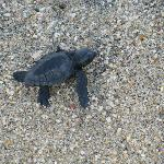 Turtle Hatchling Right Out Front