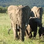 Many Elephants to view