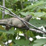 Green iguan at Caño Negro